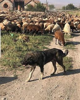 What is an Armenian Gampr livestock guardian dog
