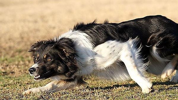 border-collie-prey-face (1).jpg