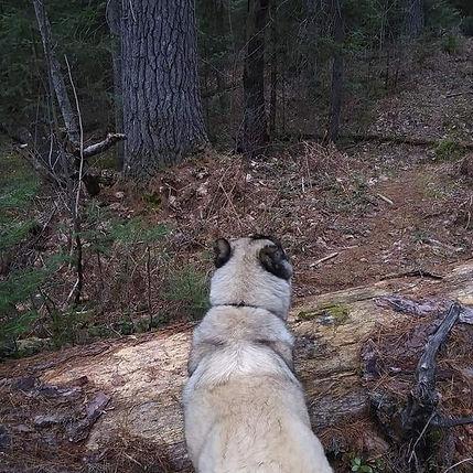 Armenian Gampr Avalanche Dogs in Armenian history