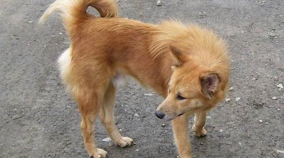 mindanao dog
