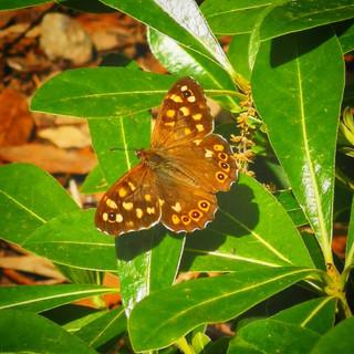 Yıldız Parkı Kelebeği