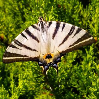 Altınova Kelebek