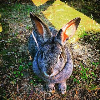 Polonezköy'den Tavşan