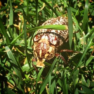 Altınova'nın Patates Böceği