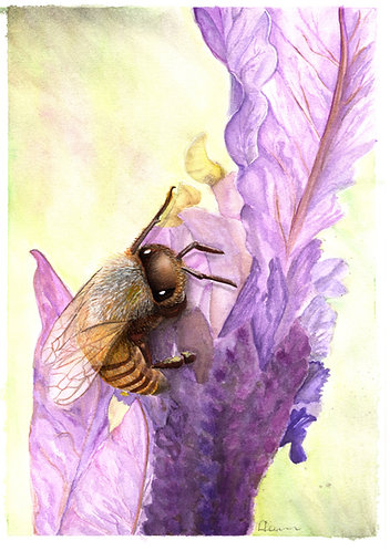 "Watercolour of a bee and lavender  - ""Bee Bliss""- Artist Donna Lewis"