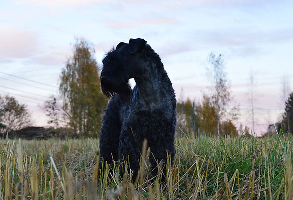 Kerrynterrieri | Kerry Blue Terrier
