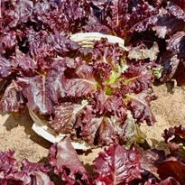 Lettuce - Oak Leaf Red