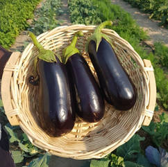 Eggplant - large