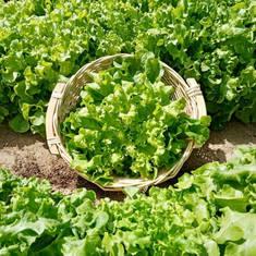 Lettuce - Oak Leaf Green