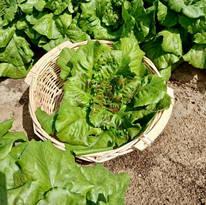 Lettuce - Butterhead Crunch