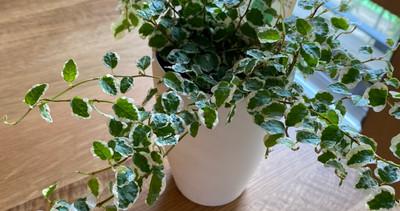 新入りの観葉植物達たち。