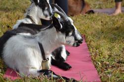Geiss auf Yogamatte
