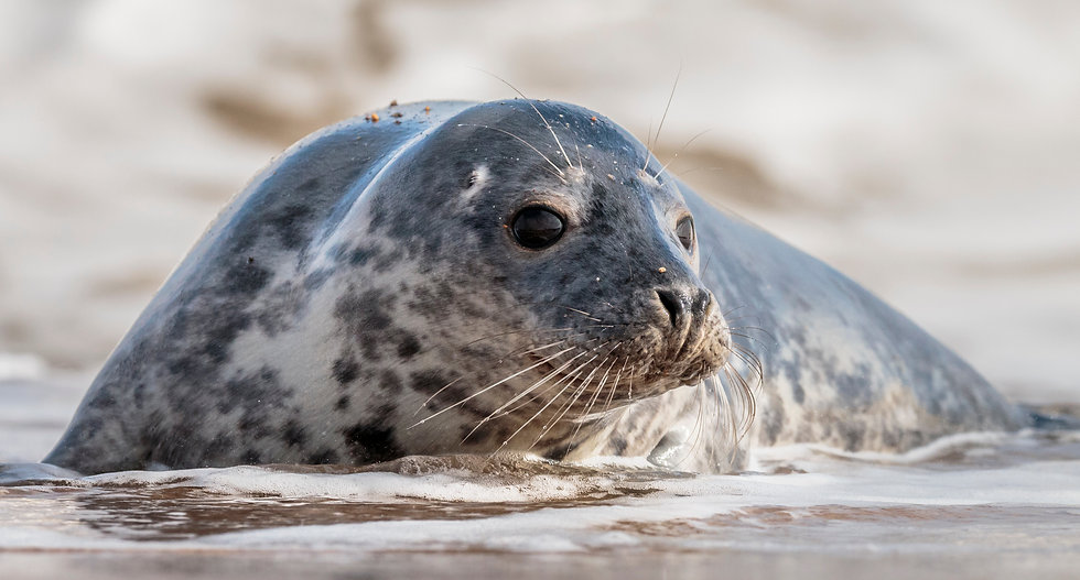 Grey Seal with large dark eyes and long whiskers, in the surf at Horsey Gap on the Norfolk