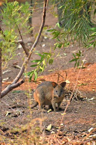 baby rock wallaby.JPG