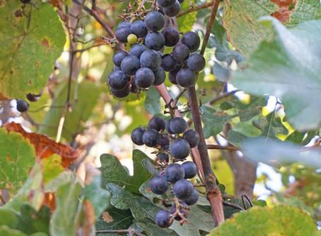 Native Grape Season