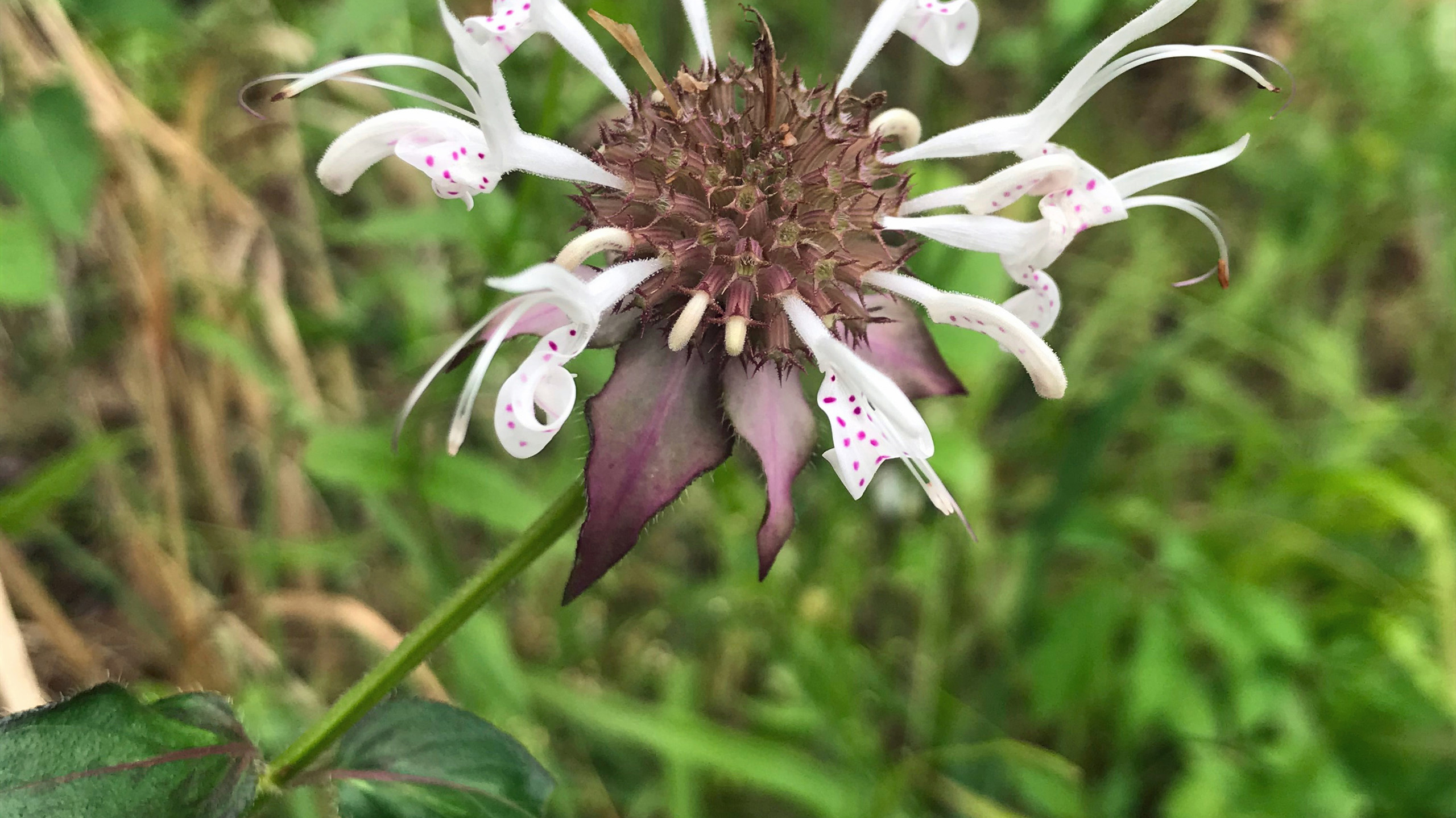 Redpurple Bee Balm