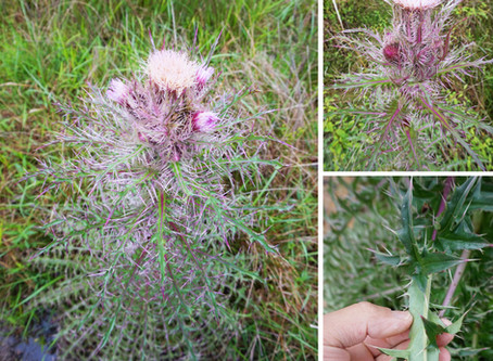 Native Thistle: an Underappreciated Cultural Plant