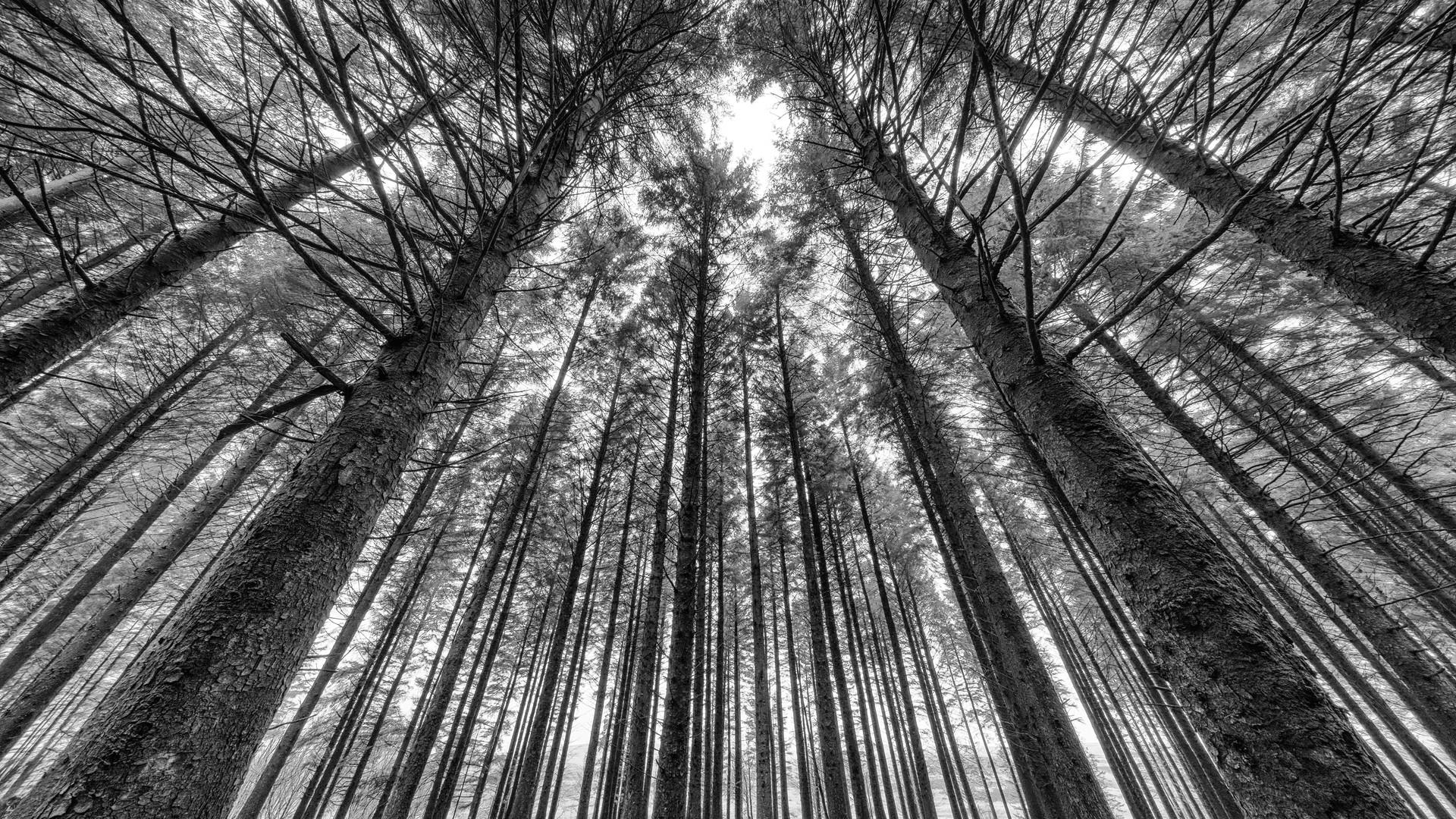 Bellever Woods