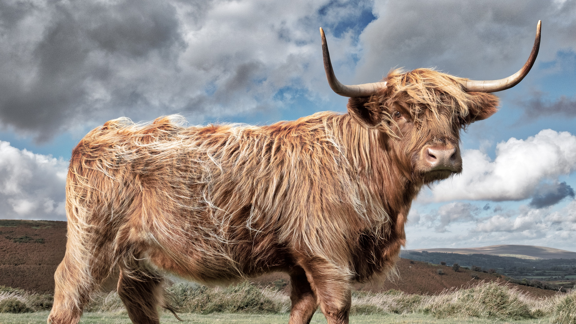 Dartmoor Highland Cattle 2016