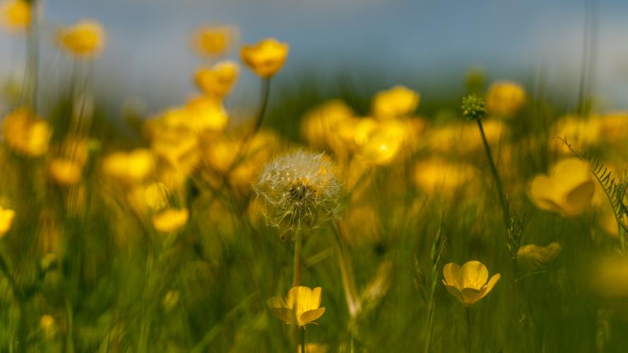 Dandelion amongst Buttercups