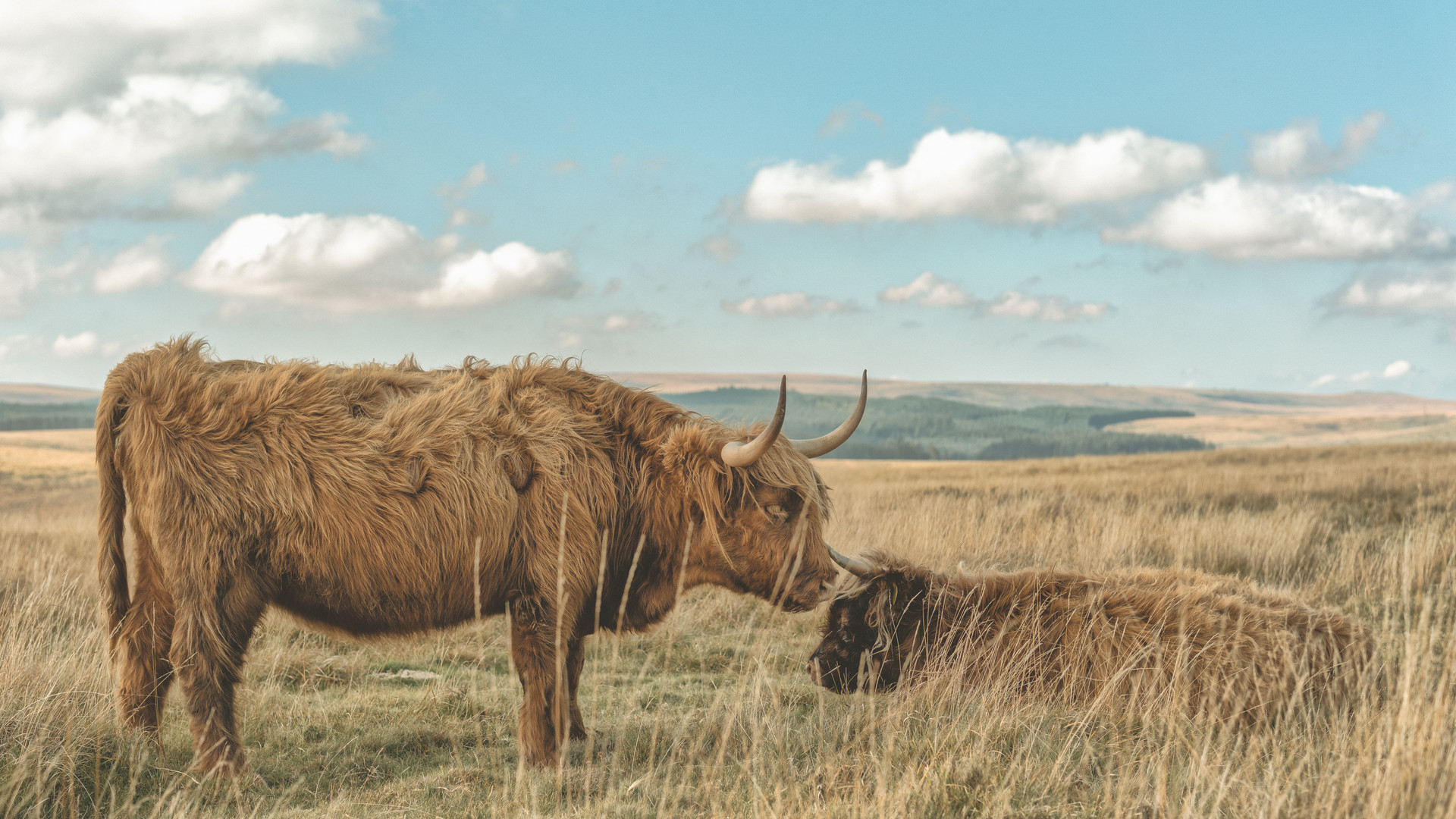 Dartmoor Highland Cattle (Mother & Calf) 2018