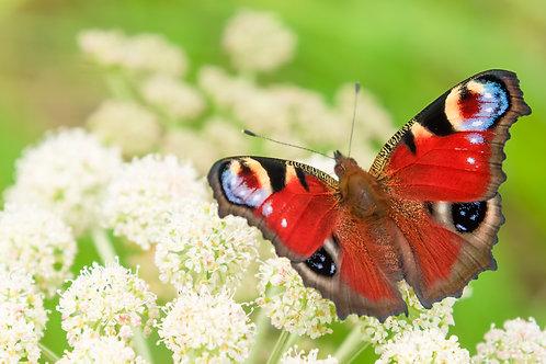 Butterfly energy attunement/empowerment