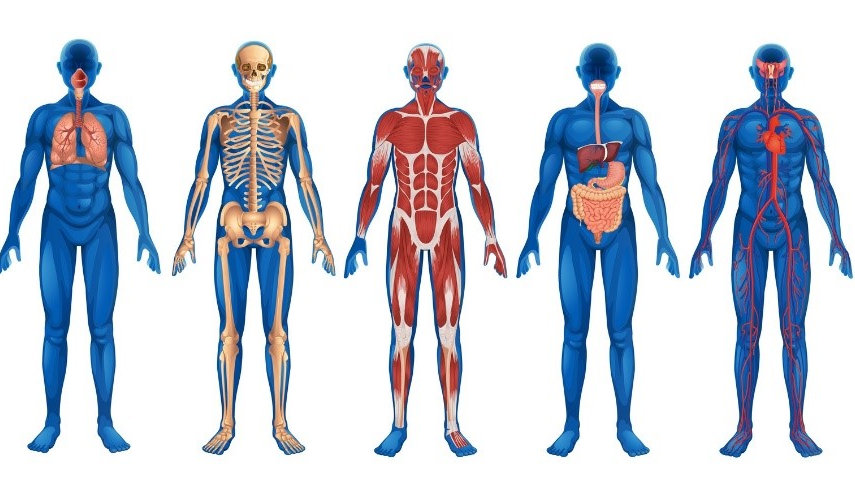 Anatomy and Physiology Level 3 Diploma £499 Online