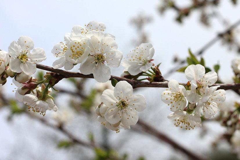 white-flowers-5236757_1920.jpg