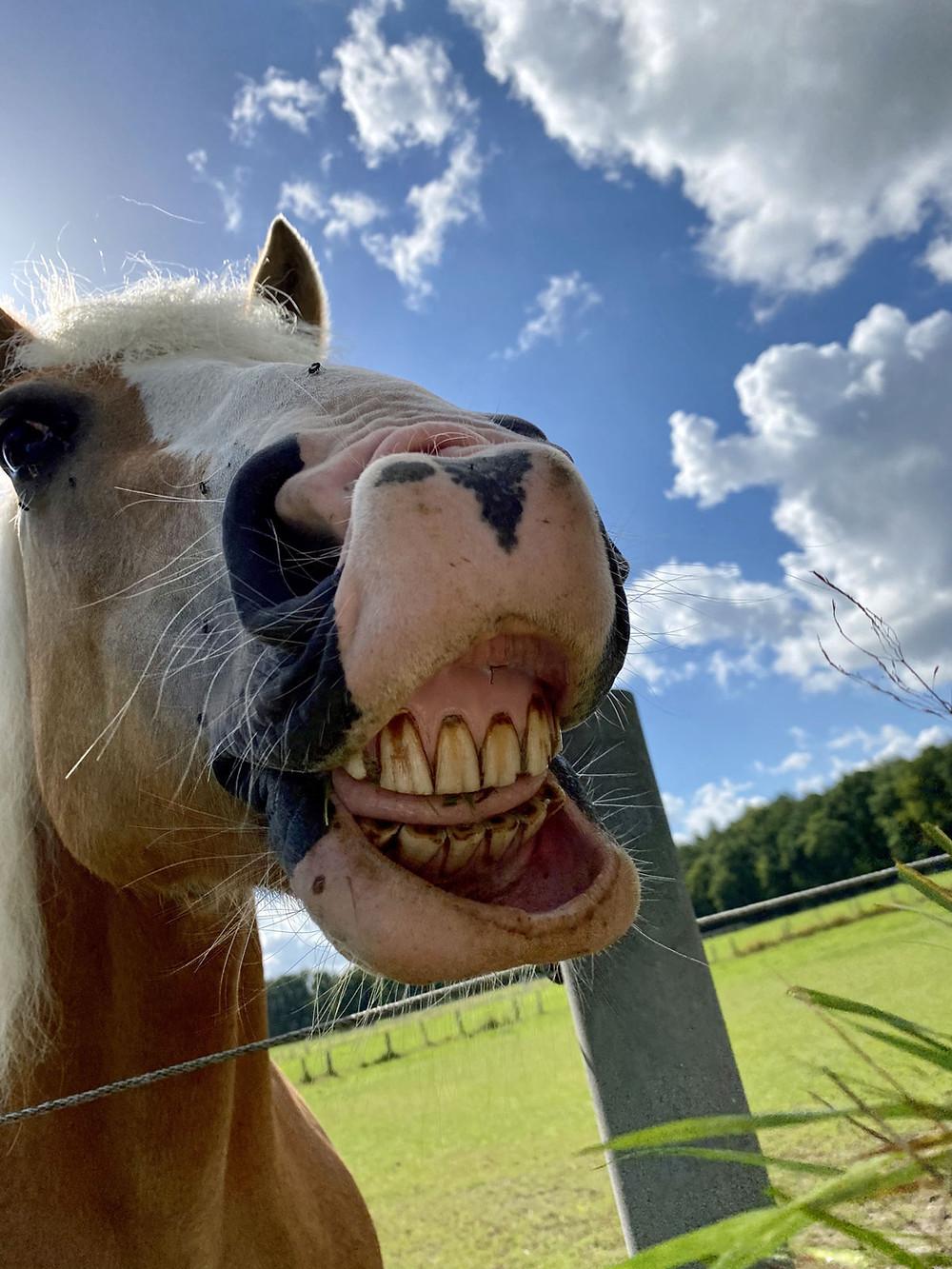 fröhliches lachendes Pferd