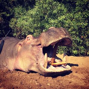 Hippo & Crocodile