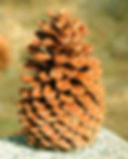 482px-Pinus_jeffreyi_cone_Big_Bear_Lake.