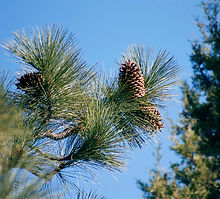 1200px-Pinus_jeffreyi_cones_BigBearLake.