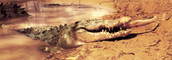 Castlemaine croc