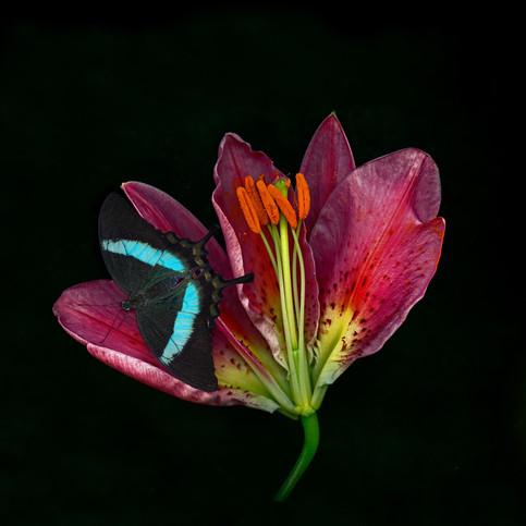 lilyhead 2butterfly.jpg