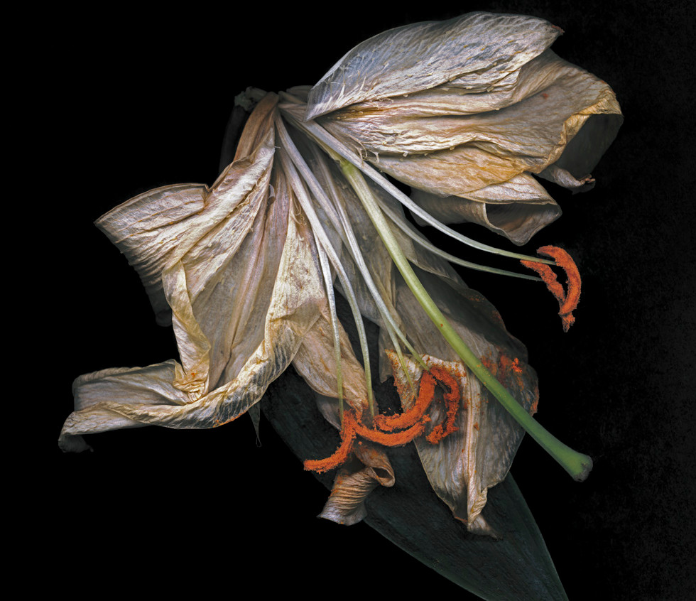 Dead Lily B5 copy.jpg