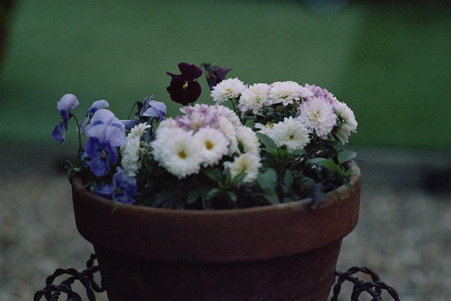 -flowers of innocence-