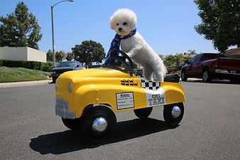 Dog in Taxi Pedal Car. A Bichon Frise do