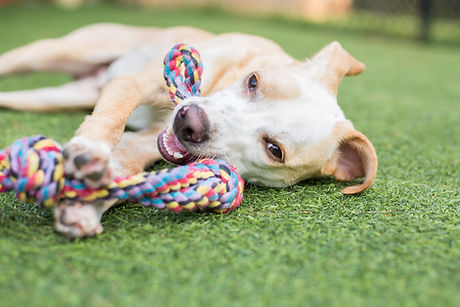 Cute white and tan puppy plays with rope