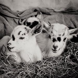 Clover Ridge Farm Sanctuary Goat Newborns