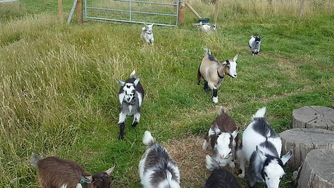 Kids Playtime with Aunty Betty & Aunty Rose (the 2 year old nanny goats)