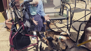 Therapy Goats - the new dogs on the block.