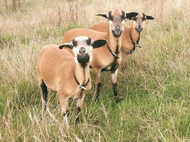 Some of our Cameroon Sheep