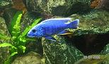 Scianochromis ahli.jpg