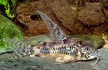 Corydoras longipinnis.jpg