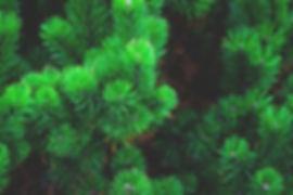 pine-1884335_960_720.jpg