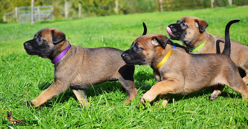 Lupa Puppies Running.jpg