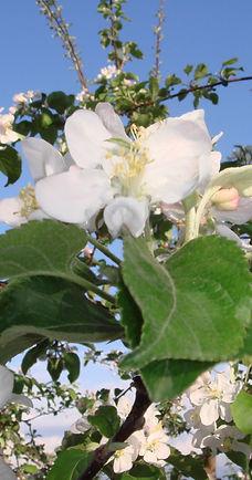 りんごの花2.JPG