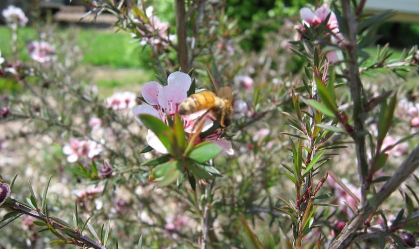 Manuka flowe with bees.jpg