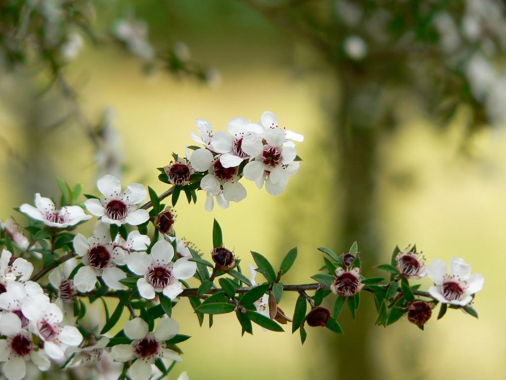 Manuka flowers-7.jpg