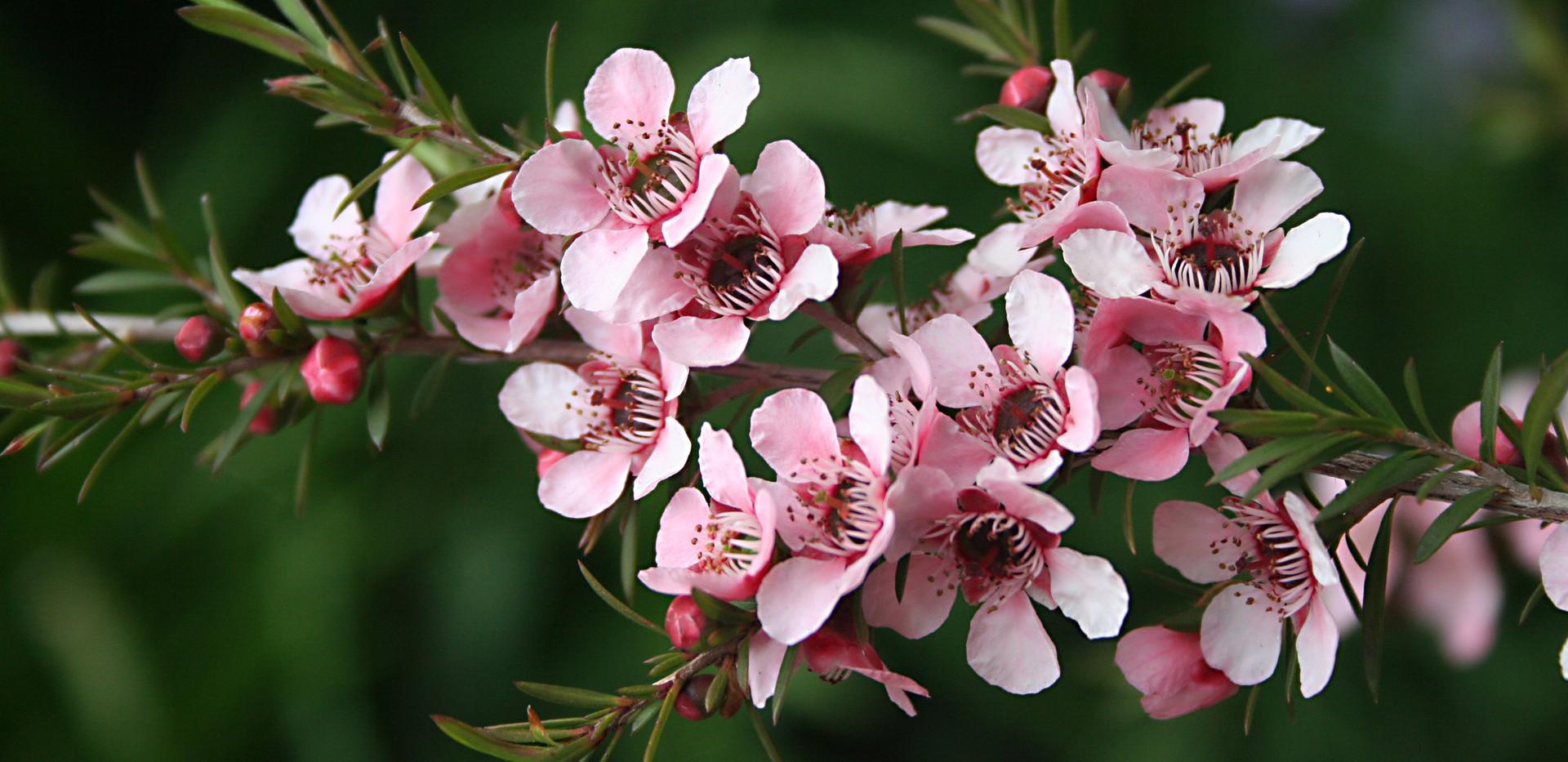 Manuka flowers-1.jpg